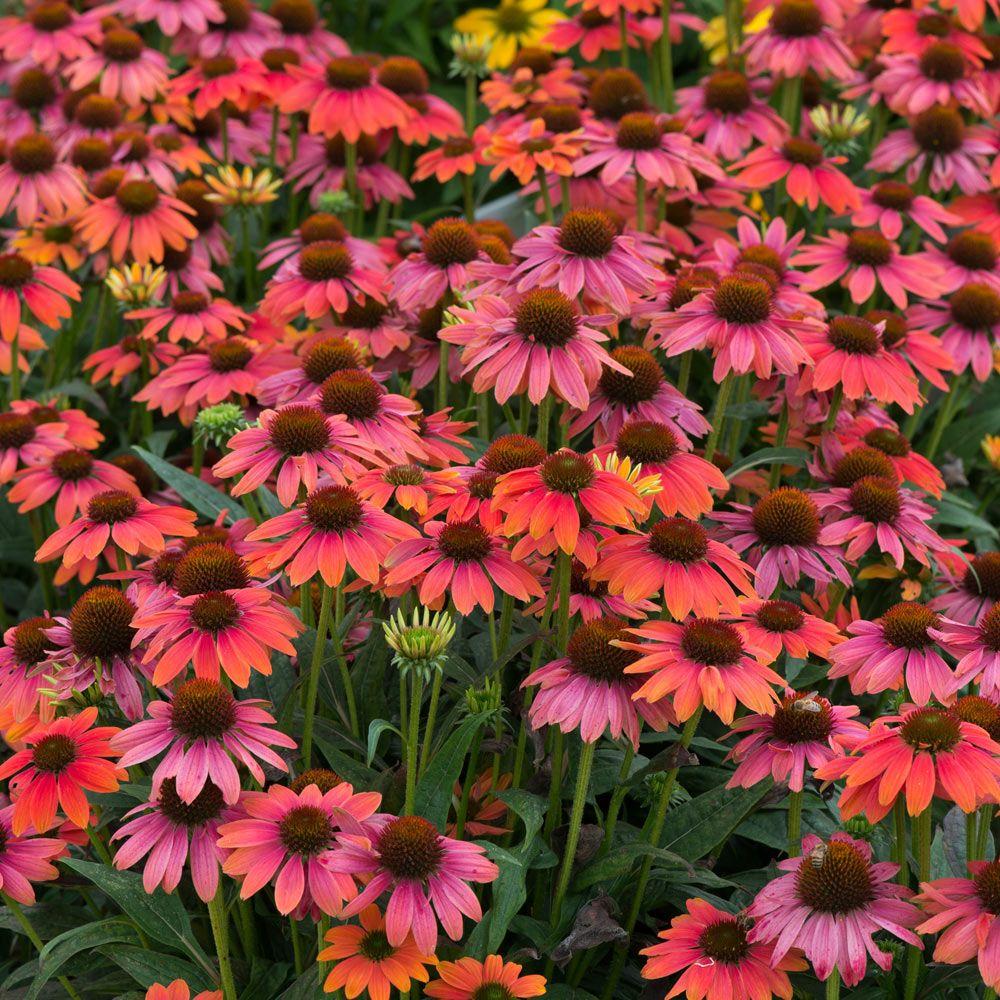 50 PCS Seeds Bonsai Echinacea 9 Kind Color Flowers Perennial Chrysanthemum NEW X