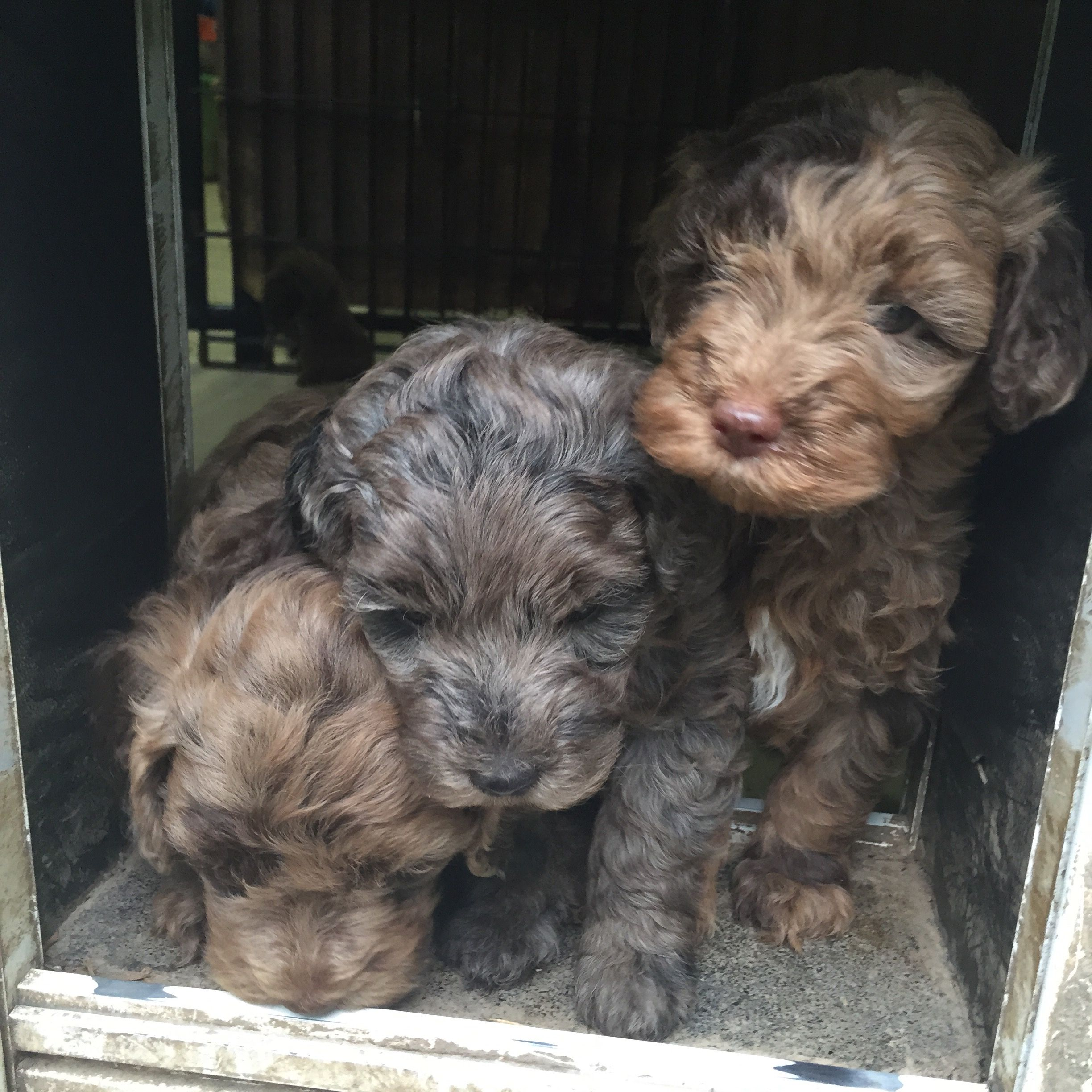 Labradoodle Puppies Chocolate Merle And Blue Merle Learning The Doggie Door Labradoodle Labradoodle Puppy Cute Animals