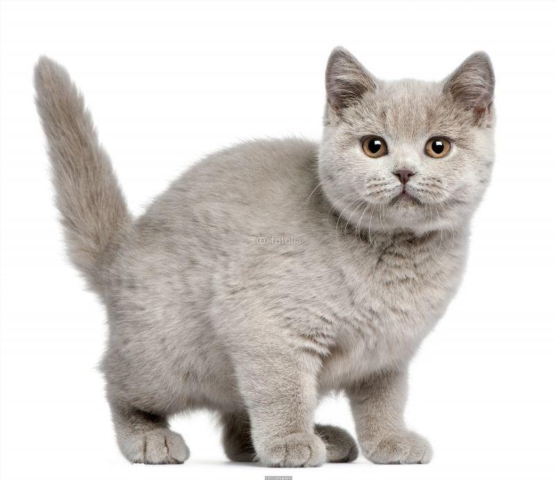British Shorthair Kitten 3 Months Old Poster Id F30121433 British Shorthair British Shorthair Kittens British Shorthair Cats