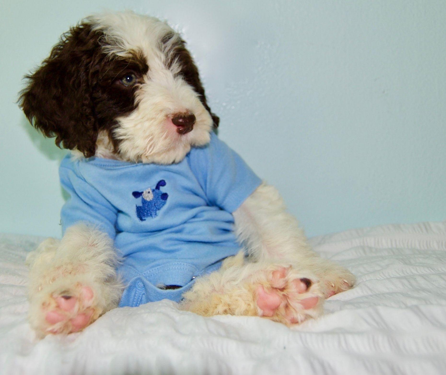 Springerdoodle Puppies 82 Jpg Springerdoodle Puppies Puppies For Sale
