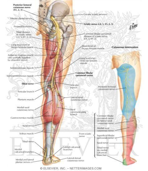 sciatic nerve exercises sciatic nerve exercise | cure sciatic pain, Muscles
