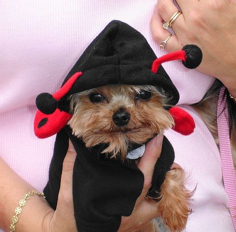 30 Costumes That Prove Yorkies Always Win At Halloween Page 5 Of 13 The Paws Dog Halloween Costumes Yorkie Yorkshire Terrier Dog