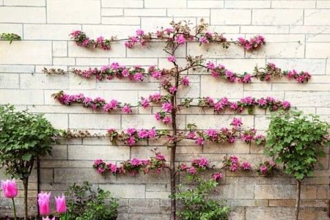 Grow Espaliered Trees For A Slim Fit Pinterest Espalier Fruit