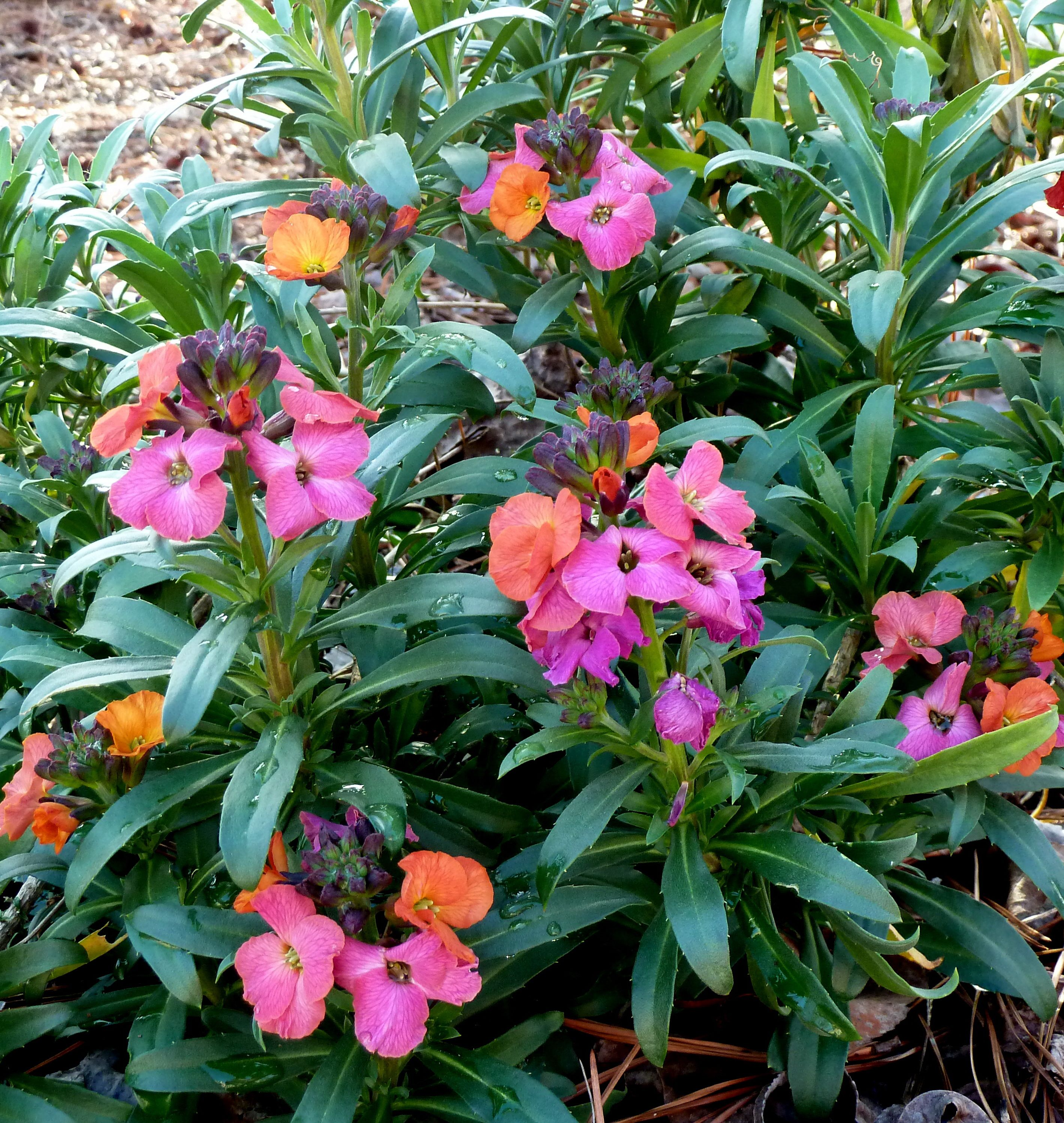 Winter Orchid Wallflower Orchids, Plants, Language of