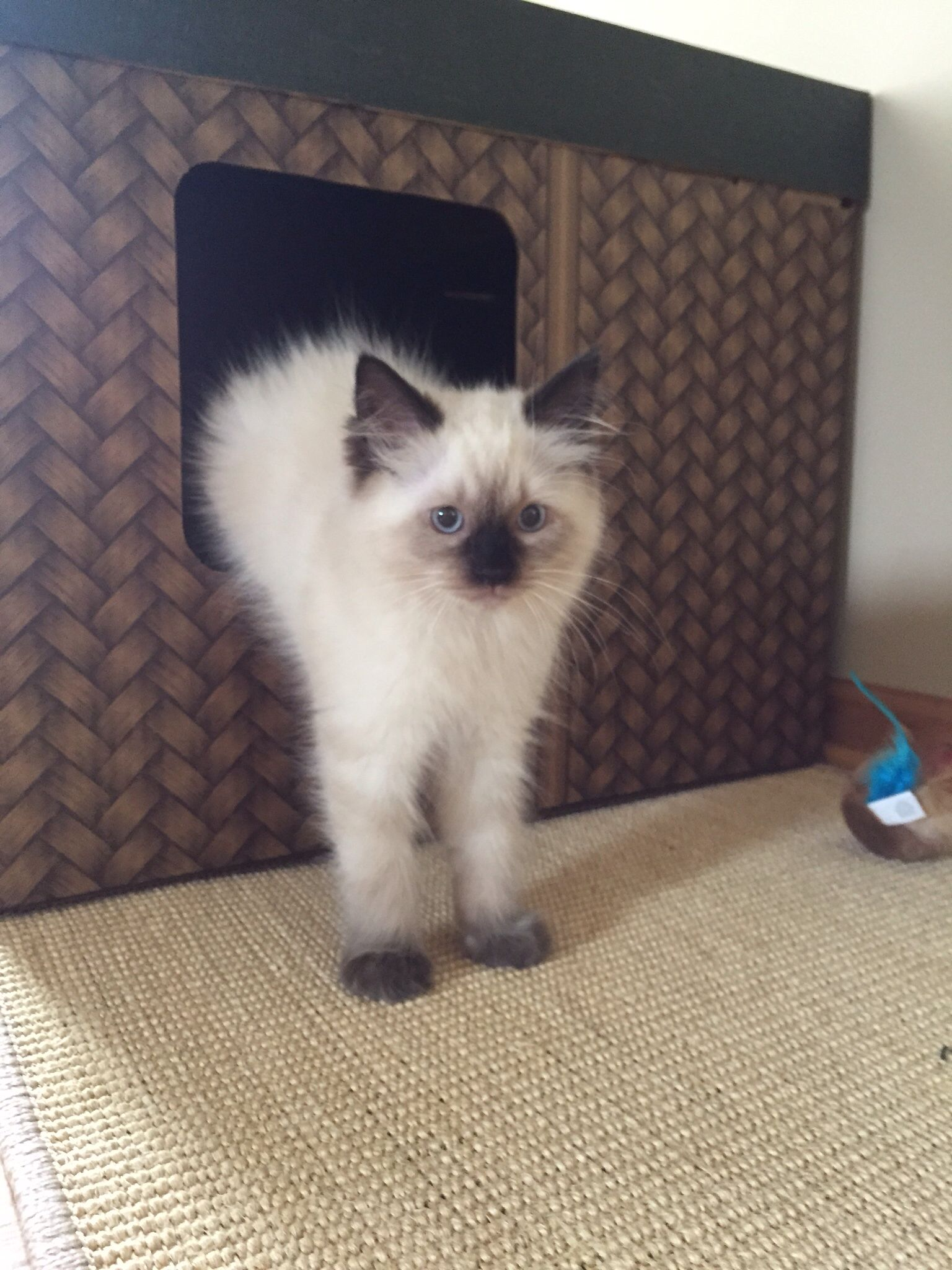 Ragdoll Kitten 13weeks Seal Point Chocolate Tigger Ragdoll Kitten Cool Cats Kittens
