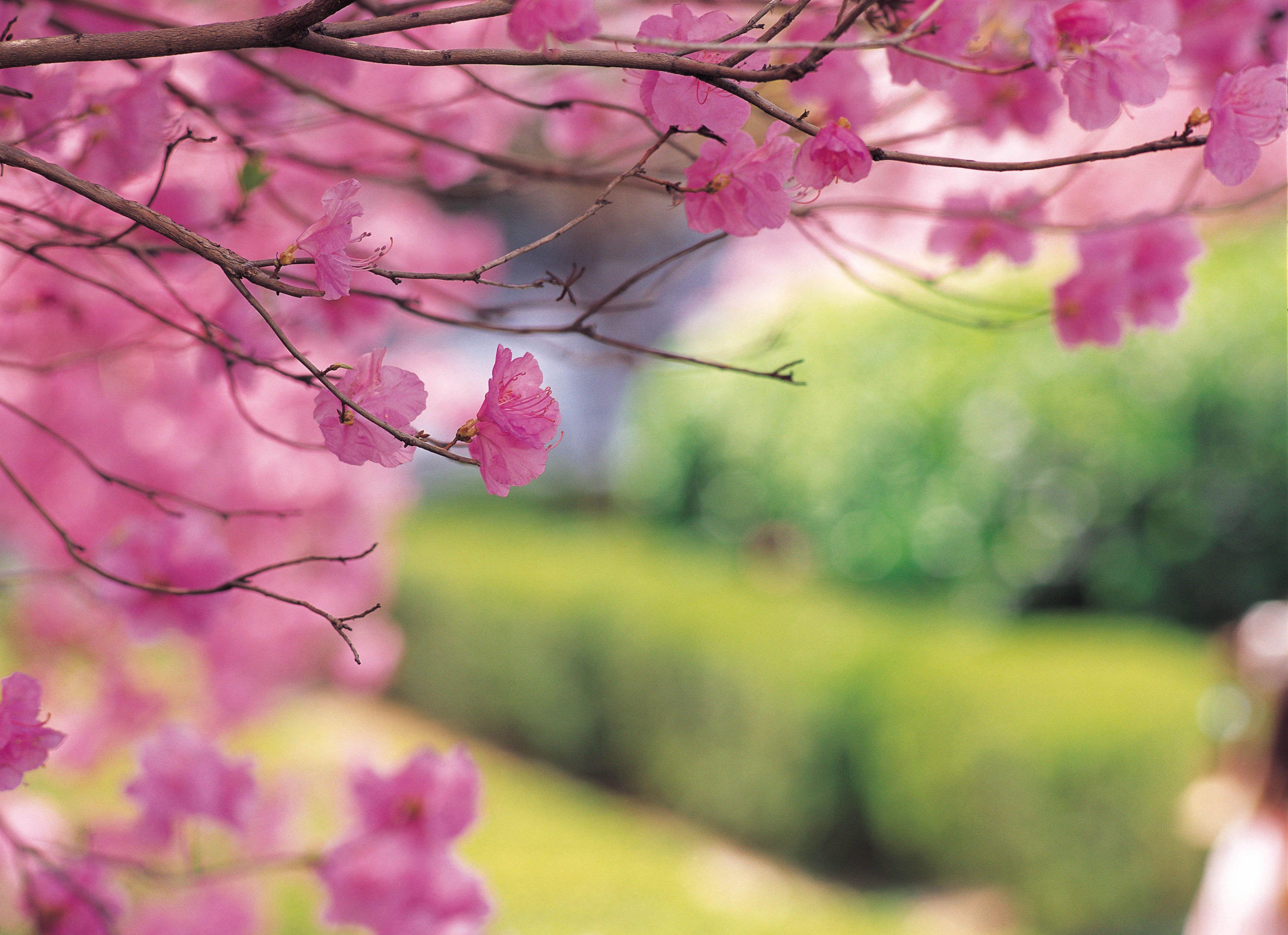 Kak Pomoch Organizmu Vesnoj Ornamental Cherry Weeping Cherry Tree Cherry Tree