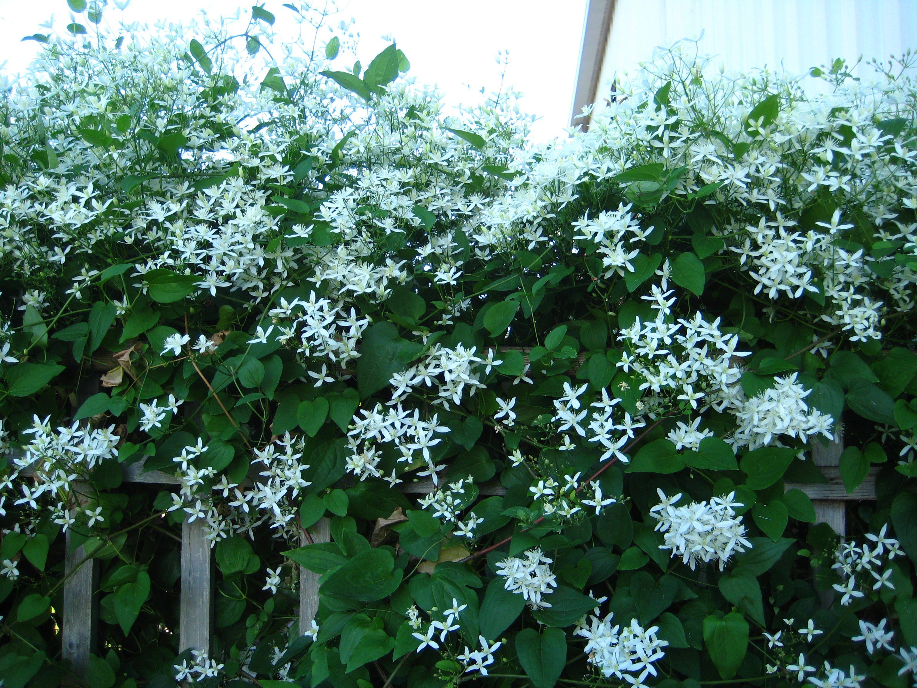 Trellis Plants For Shade Part - 20: Vine Trellis