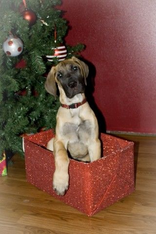 Great Dane Puppy I D Love To Have This Under My Tree Great