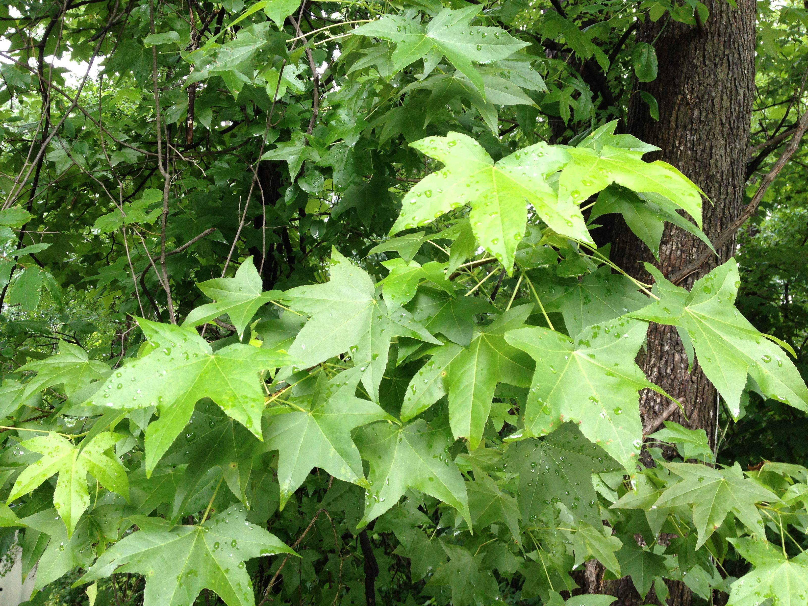 Sweet Gum S Distinctive Leaves Are Easy To Spot Sweet Gum Tree