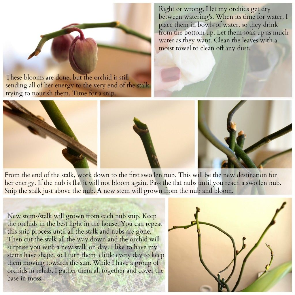 Orchids, how to get them to bloom again and again