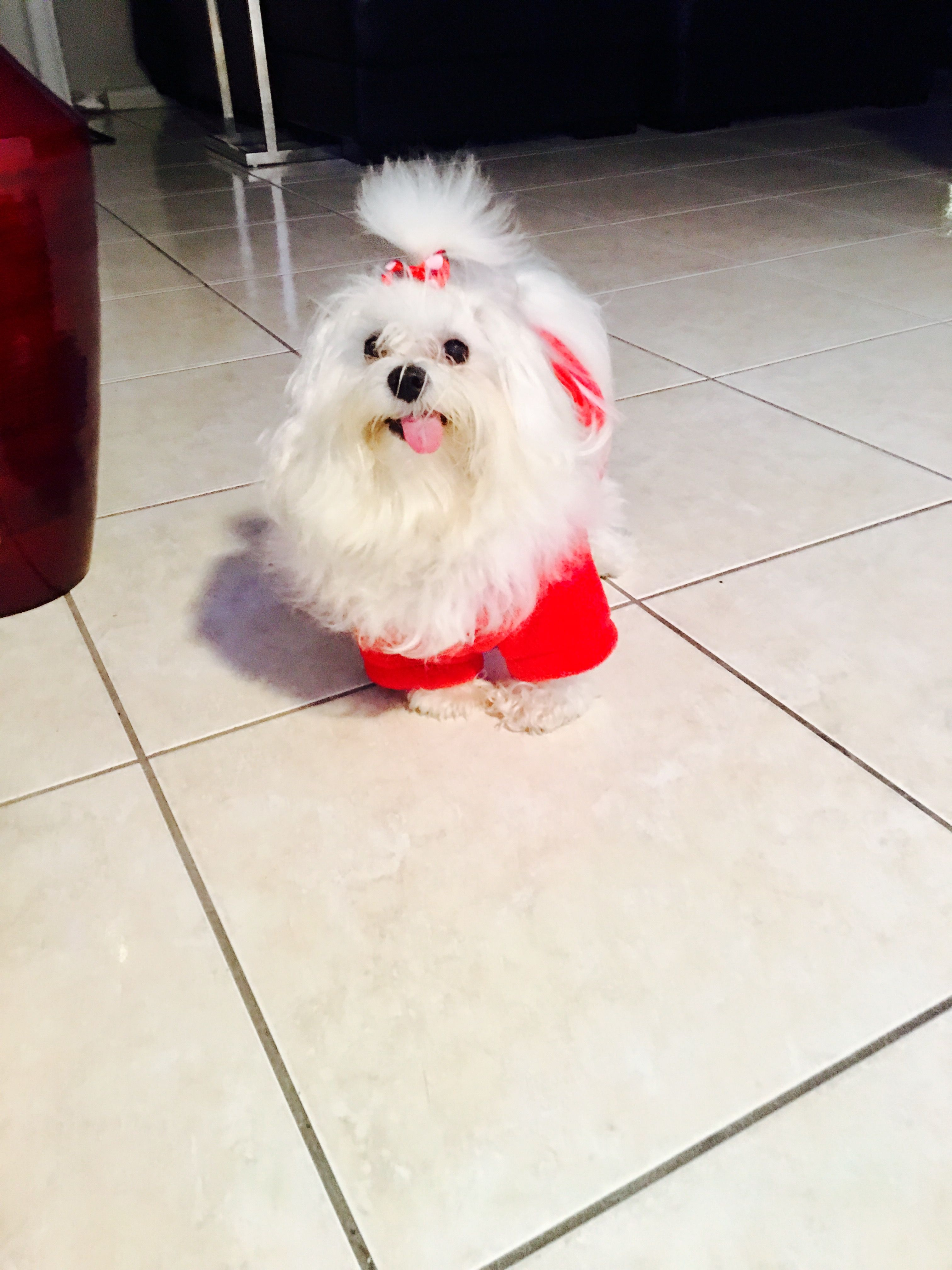 Teacup maltipoo puppies for sale craigslist