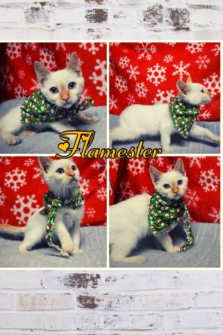 He Is Cutie Pie Kitten Ready To Go Home For The Holidays Adoptdontshop And Save A Kitty Cat Life Today Mexic Cats And Kittens Kitten Adoption Sick Pets