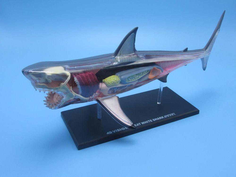 Great White Shark Anatomy Model 4D VISION Animal Anatomy Model. Free ...