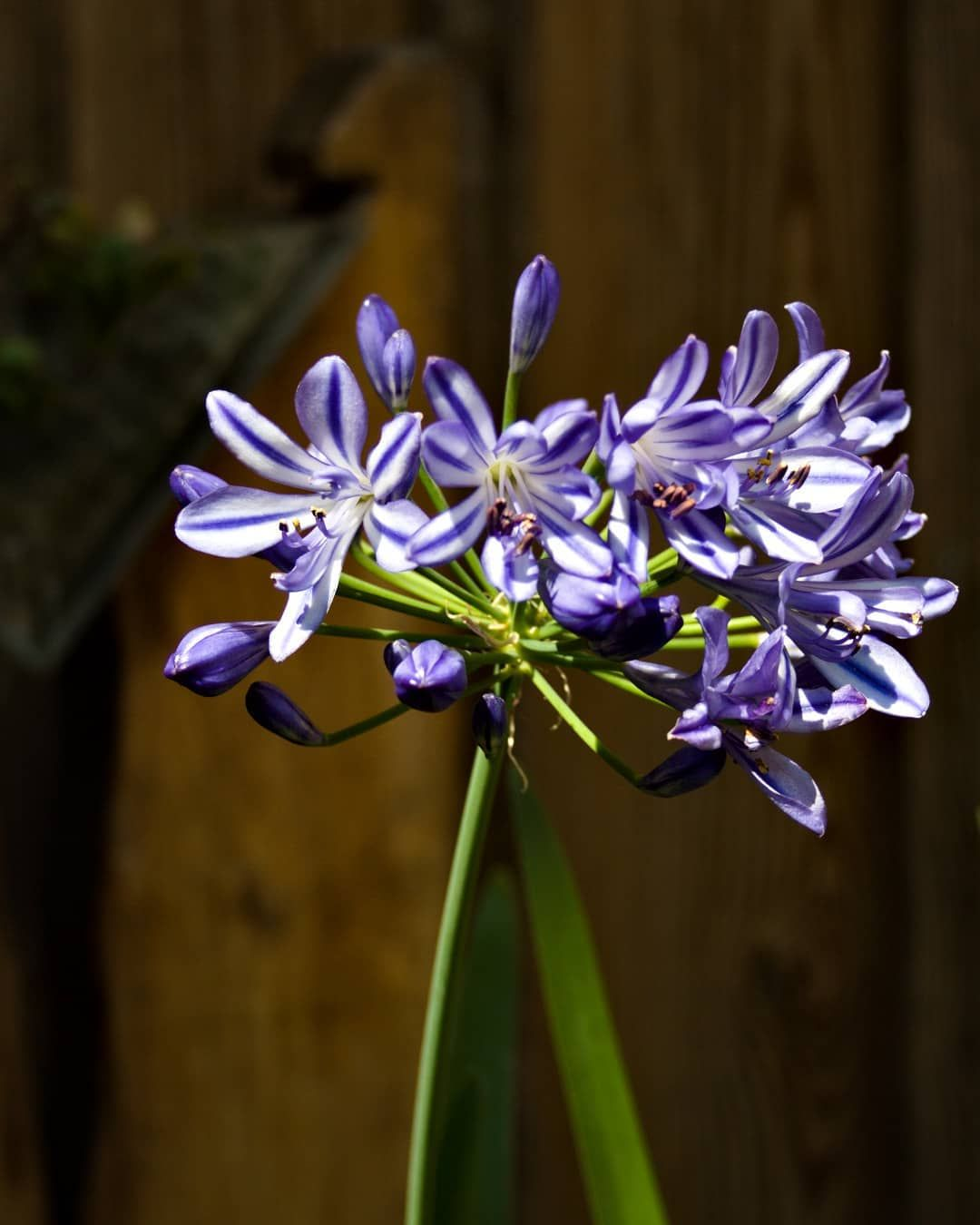 African Lily Agapanthus Africanus Here Are Some Quotes About Flowers I M Really Quite Simple I Pl In 2020 African Lily Flower Quotes Planting Flowers