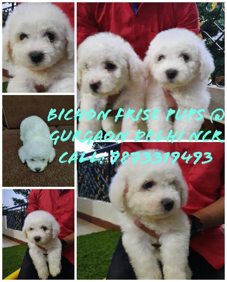 Bichon Frise Pups Gurgaon Delhi Ncr Queries On Call 9873319493
