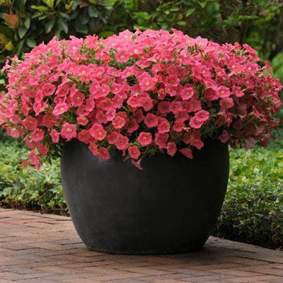 Petunia Shock Wave Coral Crush F1 In 2020