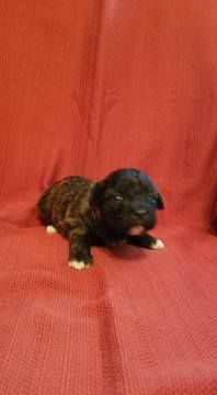 Litter of 4 Zuchon puppies for sale in MANITOWOC, WI  ADN