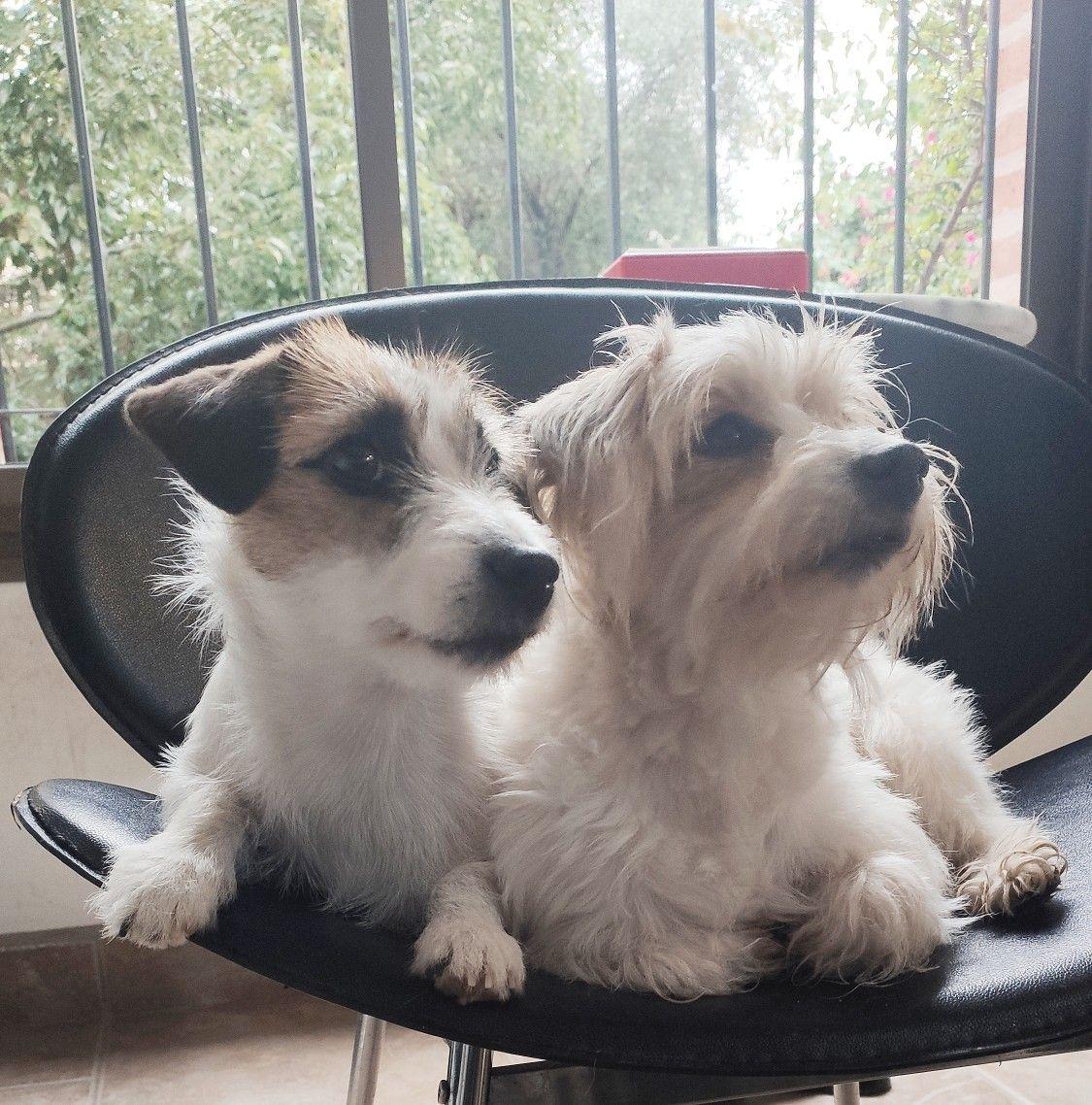 Cielo Y Perla Jack Russells In 2020 Jack Russell Jack Russell Terrier Pet Dogs