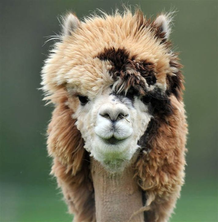 21 Alpacas With The Most Hilarious Hairstyles Lustige Frisuren