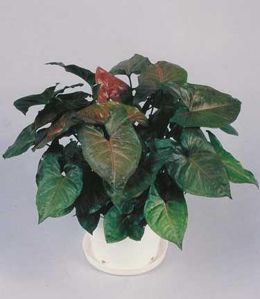 Syngonium Plant Maria Allusion Syngonium Plant Maria Allusion 6 99 Plants Grape Vine Plant Plant Cuttings