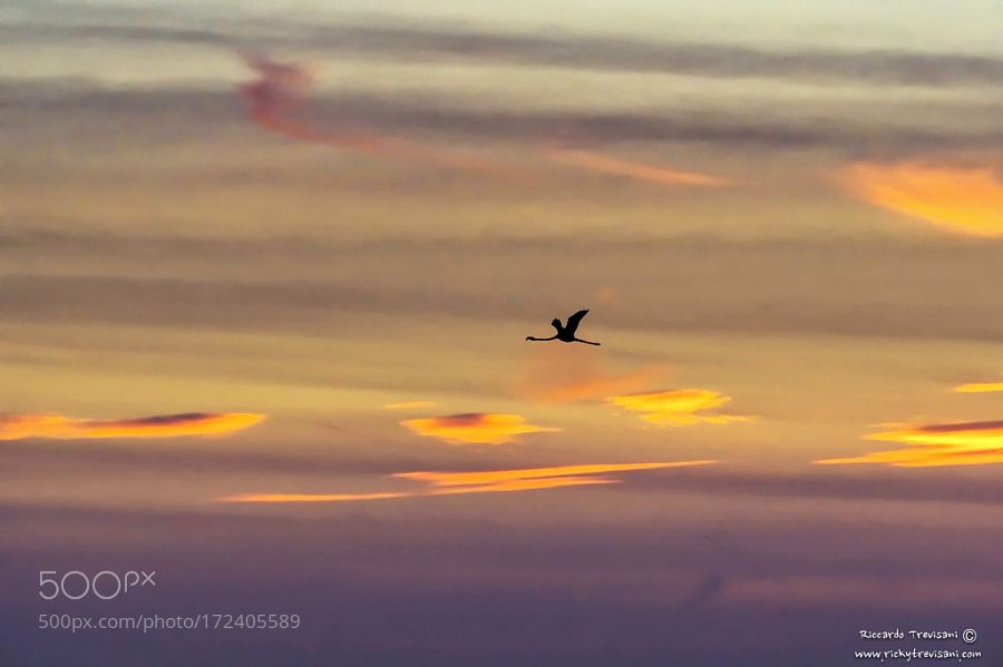 flamingo in the sunset by RiccardoTrevisani via http://ift.tt/2cDALSt