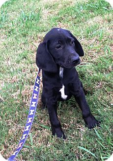 Bloodhound Labrador Retriever Mix Puppy For Adoption In Starkville Mississippi Daphne Puppy Adoption Labrador Retriever Mix Puppies