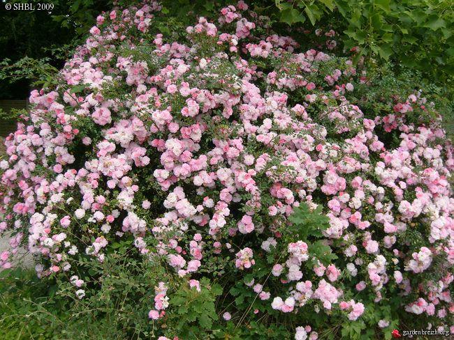 rosiers pompons pinterest jardin rose rosier et mon jardin. Black Bedroom Furniture Sets. Home Design Ideas