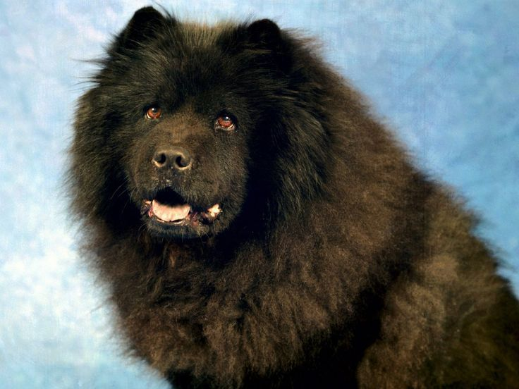 29 Popular Chow Dog Pictures For Dog Lovers Dogs Chow Chow