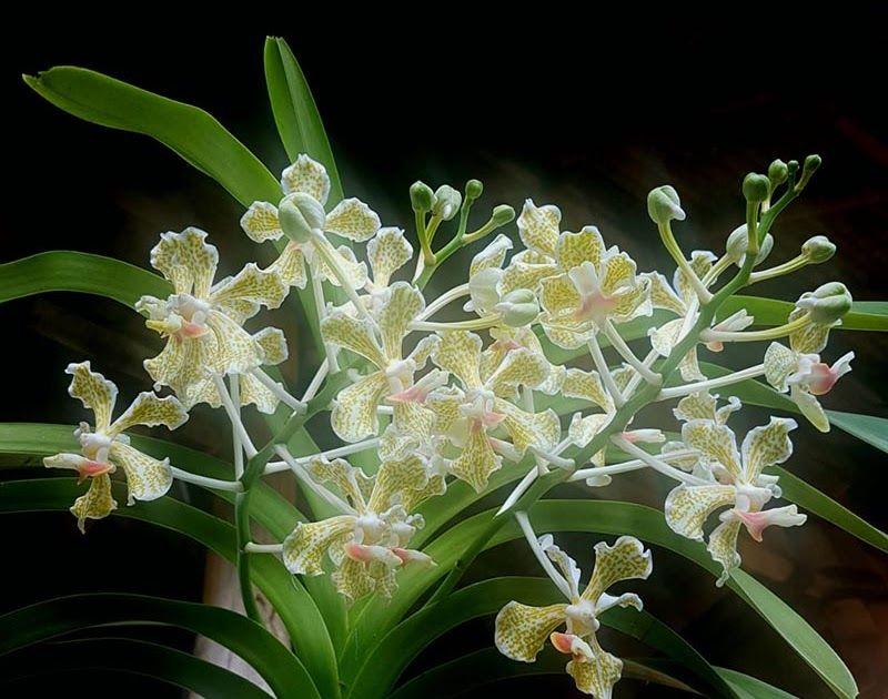 Paling Populer 12 Gambar Bunga Anggrek Langka Warga Adat