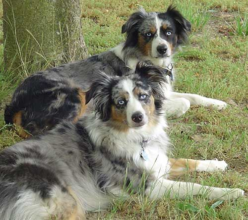 About The Australian Shepherd Australian Shepherd Aussie Dogs
