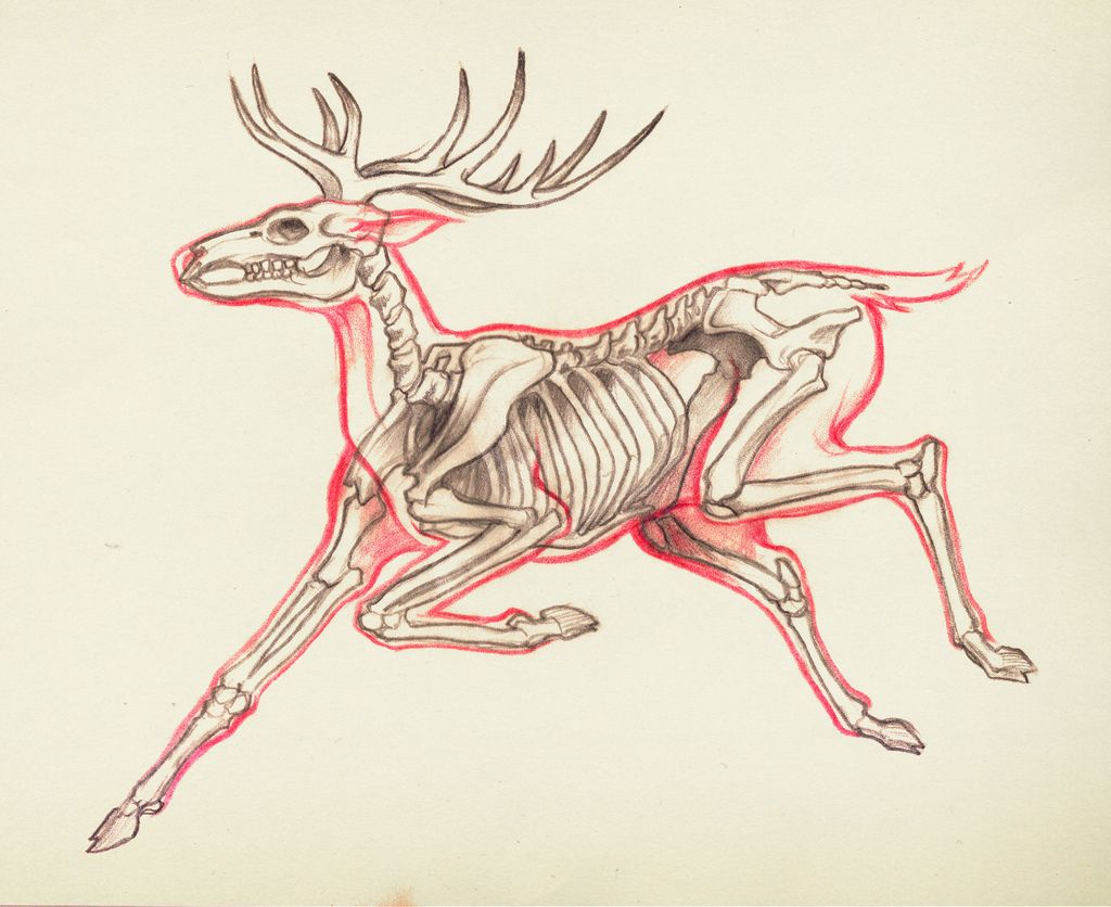 Anatomy Of A Jumping Deer | Anatomy, Drawings and Art reference