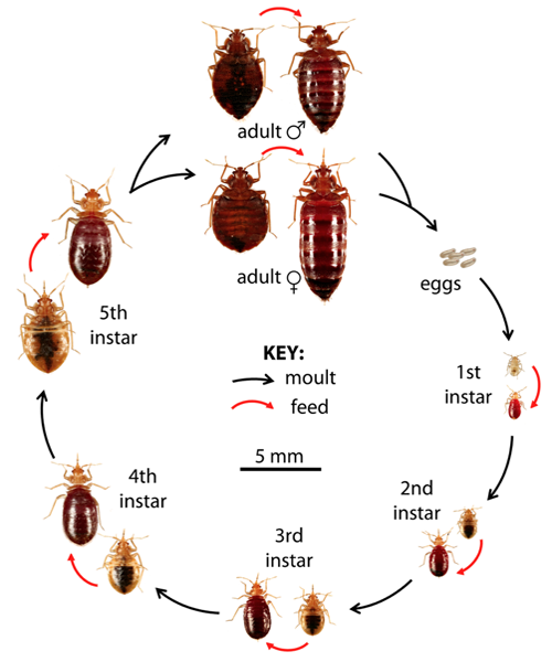 Life Cyle Of Bed Bug With Images Rid Of Bed Bugs Bed Bugs