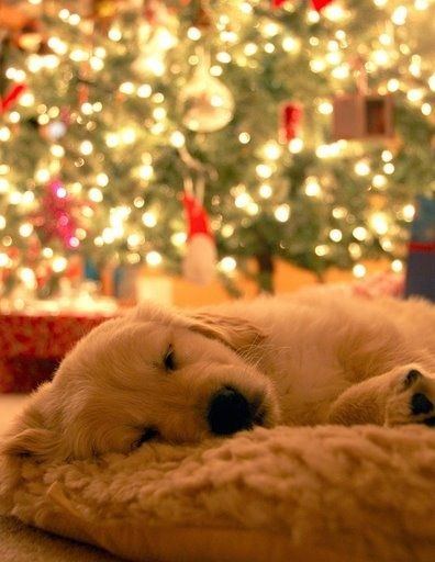 Dreaming Of A White Christmas Puppies Retriever Puppy Animals