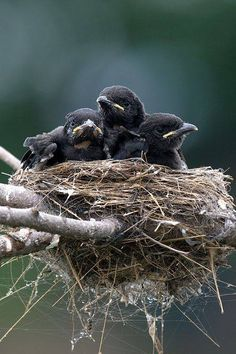 Baby Crow Detective Work Baby Crows Black Bird Crow