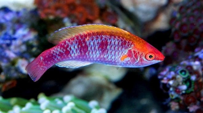 Tricolored Fairy Wrasse Ebay Saltwater Aquarium Fish Wrasse Live Aquarium Fish