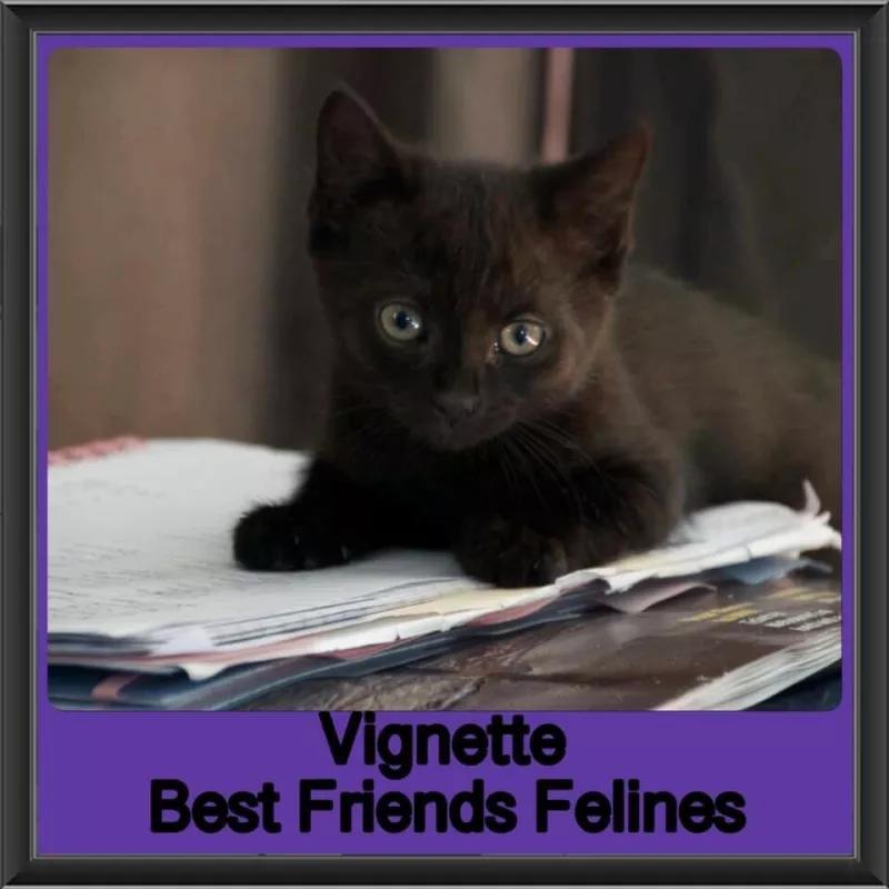 Vignette Best Friends Felines Cats Kittens Gumtree Australia Brisbane North West Arana Hills 1232205190 Cats And Kittens Cats Feline