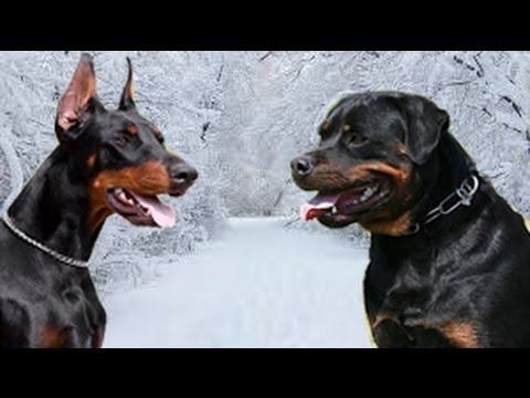 Rottweiler Vs Doberman Facts Doberman Dogs Rottweiler