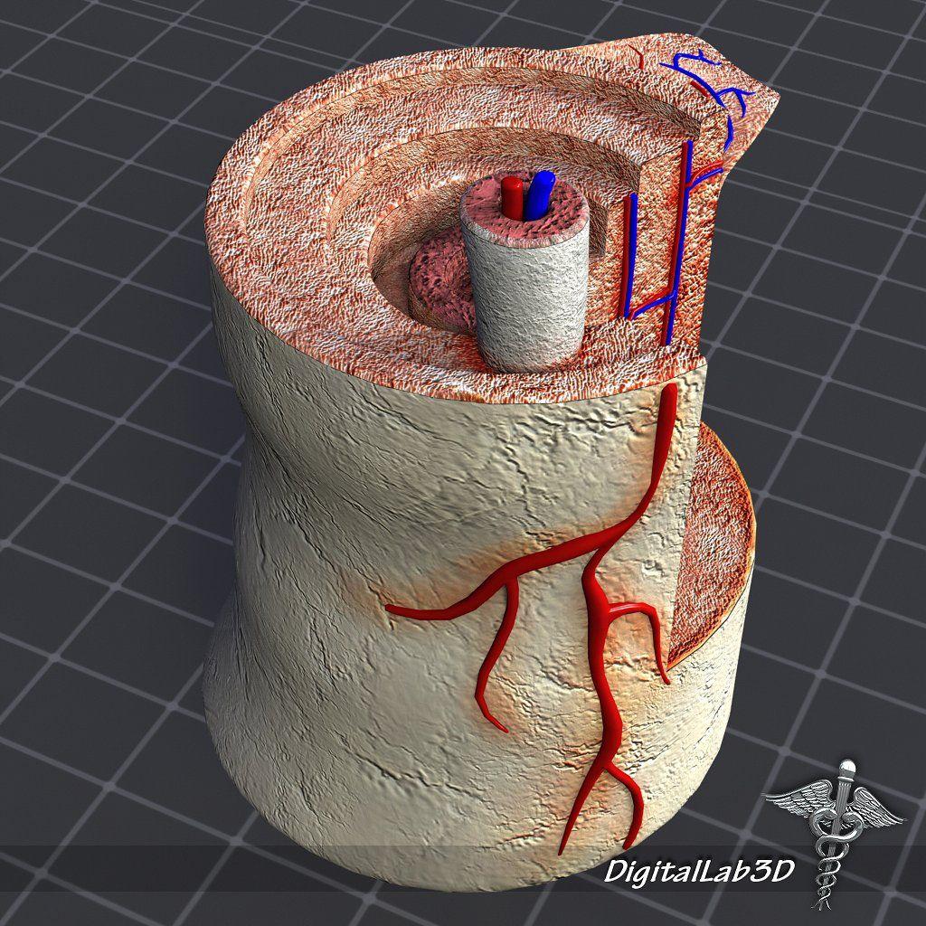 Human Bone Anatomy Ds Max Maya Presentation