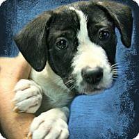 Lufkin Tx Labrador Retriever Mix Meet Morgan A Puppy For Adoption Puppy Adoption Animal Shelter Labrador Retriever Mix