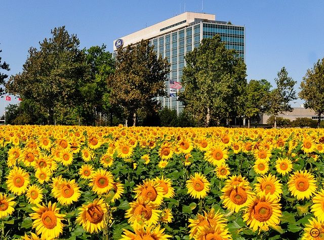 Image Result For Ford Headquarters Sunflowers Sunflower Fields