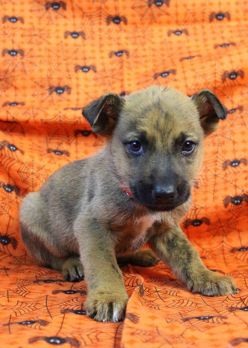 Adopt La La Land on Rottweiler pictures, Shepherd mix