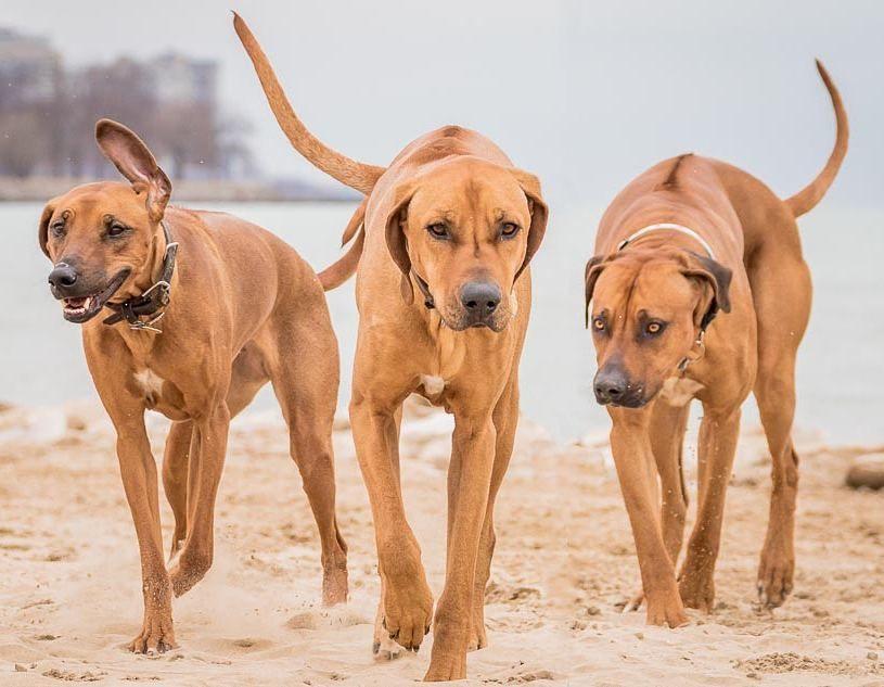 1 644 Likes 48 Comments Rhodesian Ridgebacks Markingourterritory On Instagram One Of My All Aggressive Dog Rhodesian Ridgeback Dog Training Aggression