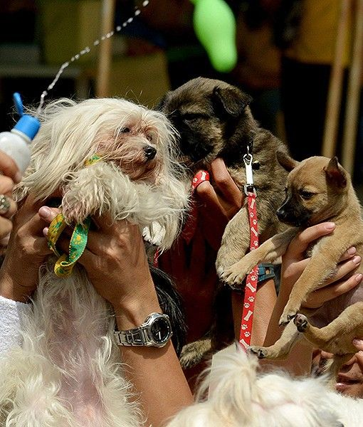 At An Event In Manila Pet Dogs Are Blessed With Holy Water