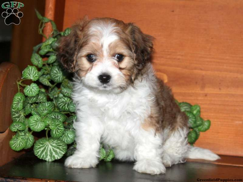 Sari Cavachon Puppy For Sale From Ronks Pa Cavachon Puppies Puppies Cavachon