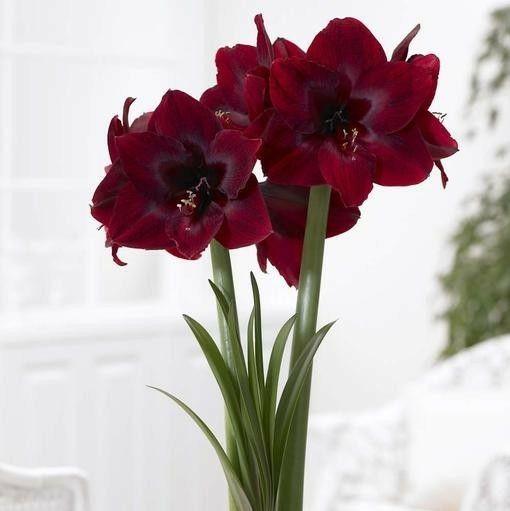 Benfica Amaryllis Bulbs Bulb Flowers Outdoor Flowers 400 x 300