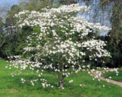 Virginia State Tree Flowering Dogwood Dogwood Trees Dogwood Tree