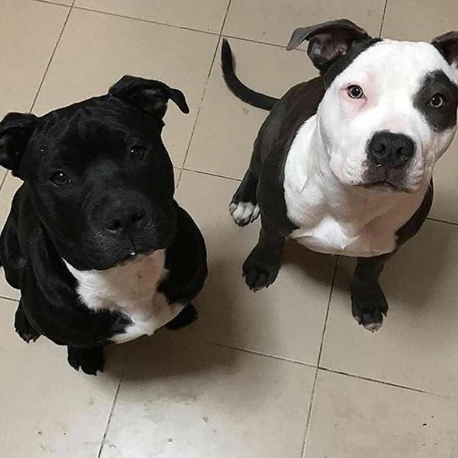 Pitbull Lab Mix Written By Vets 1 Guide On Lab Pit Mixes Puppypedia Pitbull Puppies Beautiful Dogs Pitbull Terrier