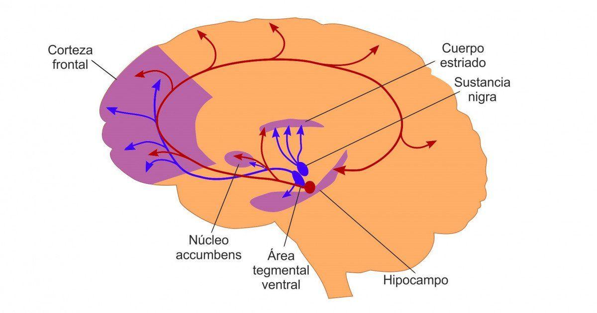 La vía mesolímbica del cerebro es una de las vías dopaminérgicas ...
