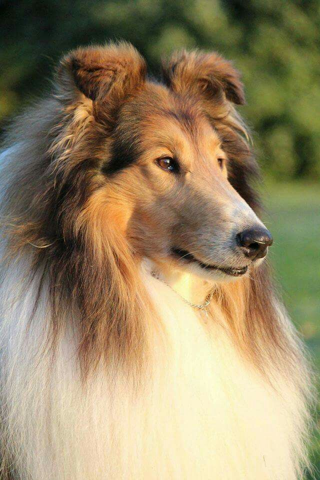 From I Love My Collie Dog Breeds Rough Collie Herding Dogs