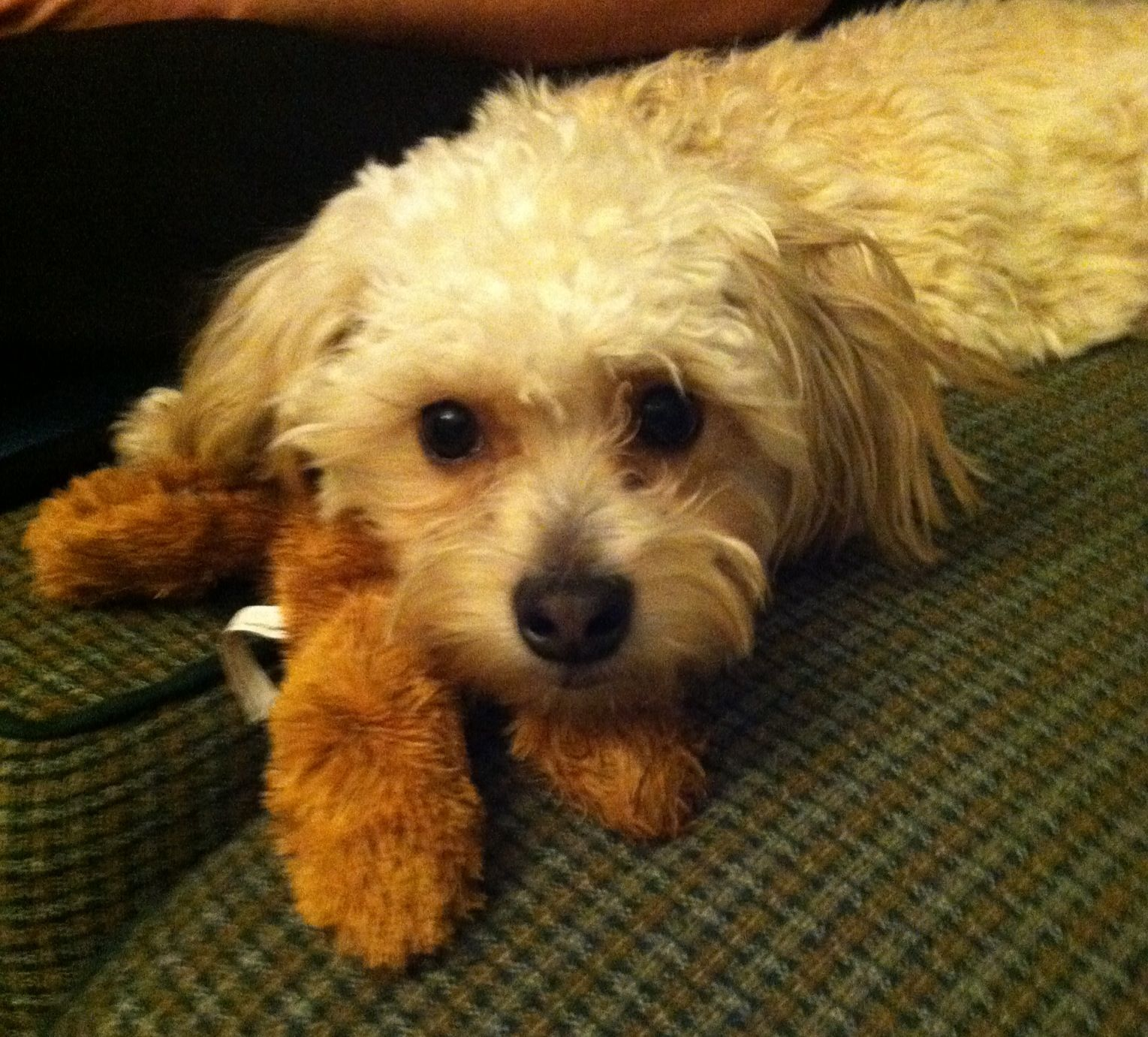 Yorkie Poo Sweet Baby With His Toy Dog And Puppy Photos
